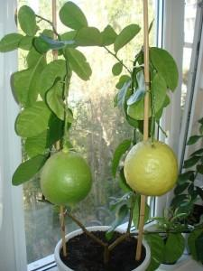 Лимон Пандероза с двумя поспевающими плодами