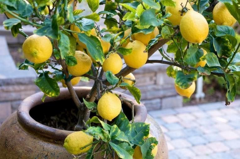 Лимон в глиняном горшке