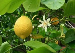 Цвет и плод на лимоне