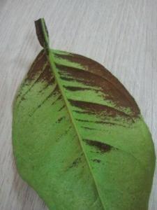 Павловский лимон болеет грибком