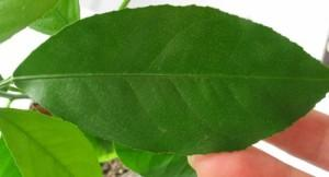 Здоровый лист лимона