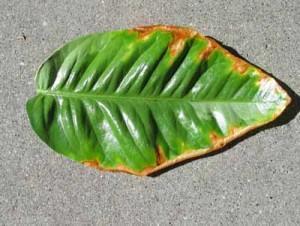 Лист лимона при недостатке фосфора фото