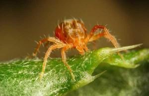 Фотография паутинного клеща