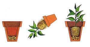 Переваливаем растение в новый горшок