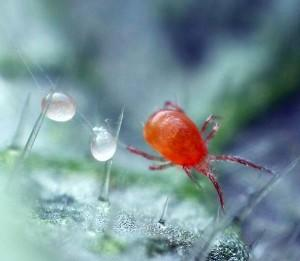 Яйца и самка паутинного клеща на листе