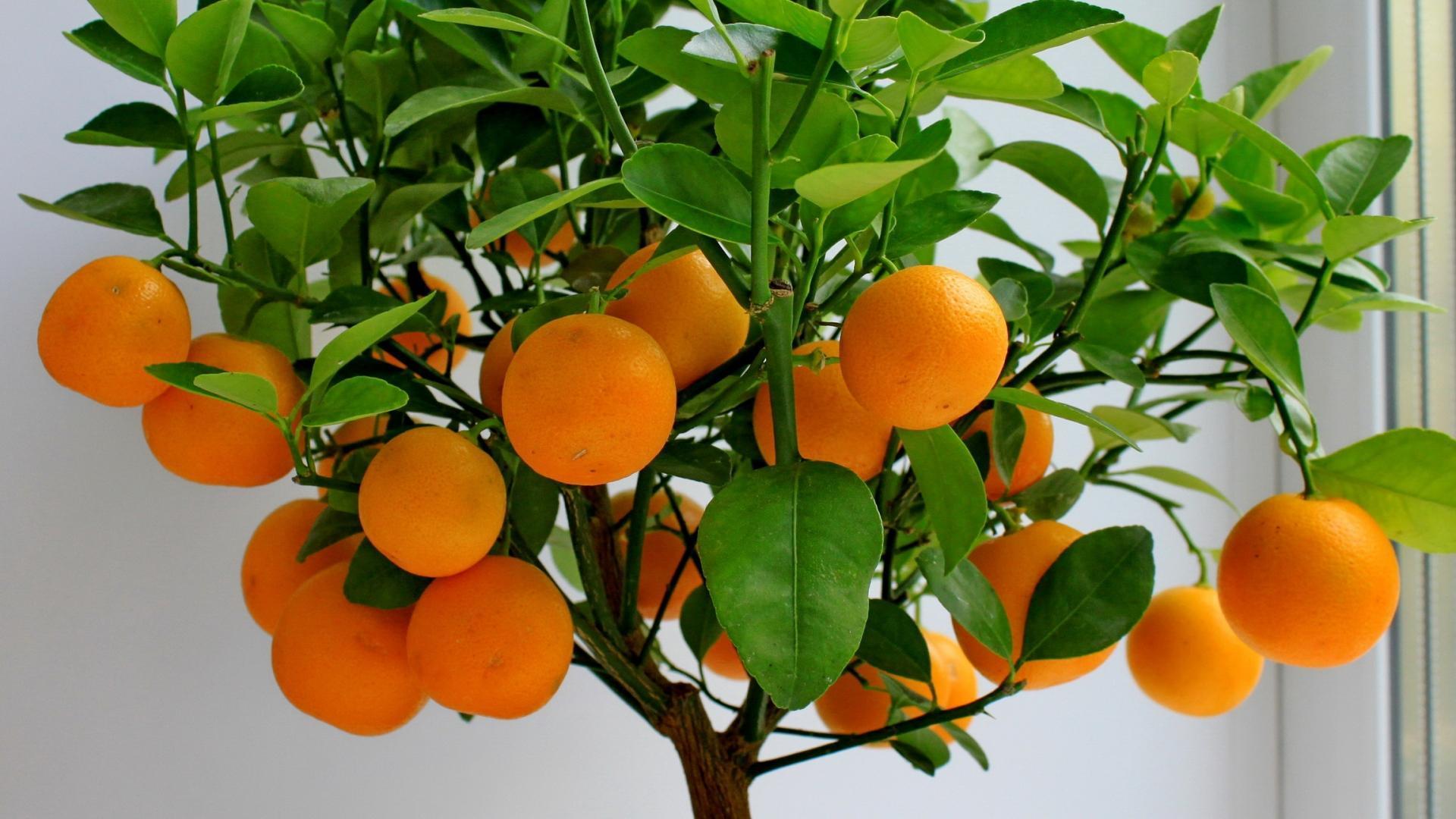 Как посадить косточки мандарина в домашних условиях