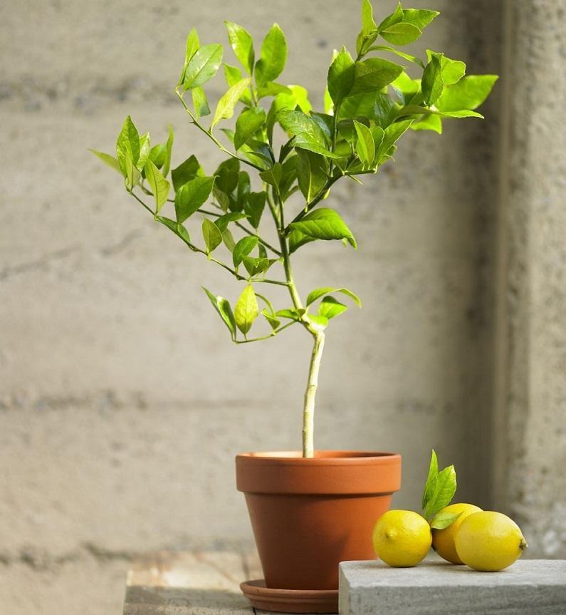 Домашний лимон с плодами