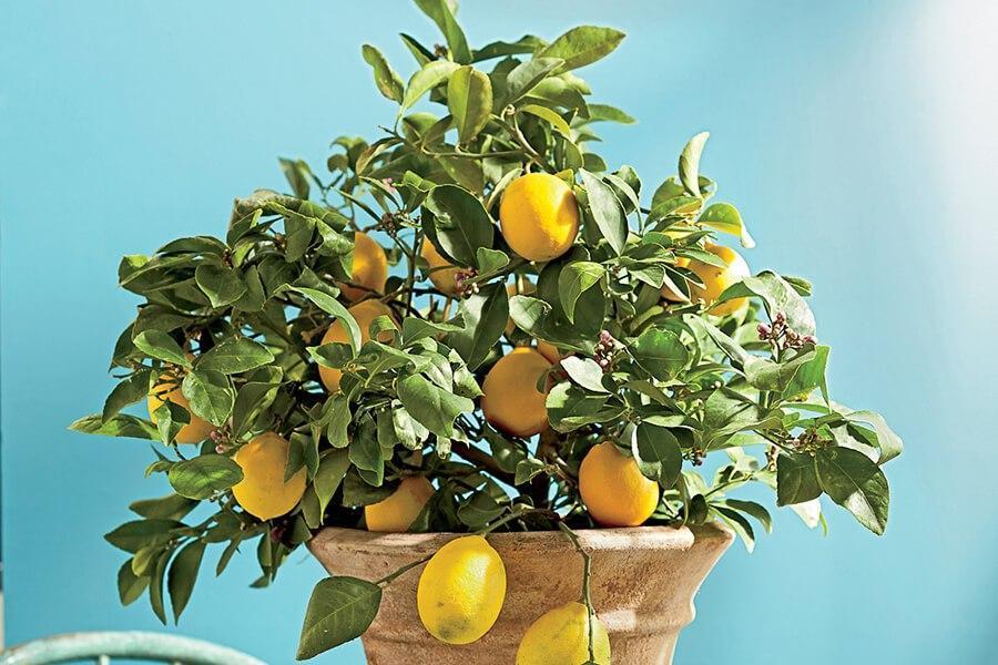 Выращиваниё лимонов 13