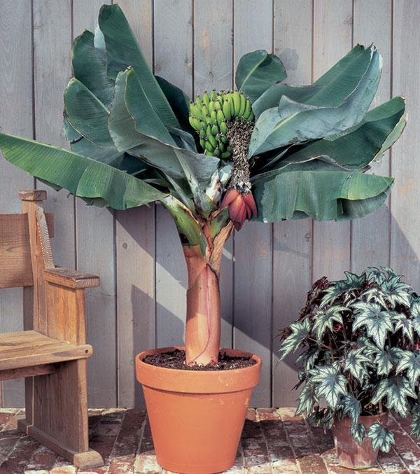 Банан выращивание в домашних условиях 393