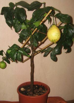 Новогрузинский лимон с плодами