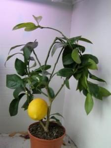 Лимонное дерево Майера