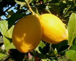 Сорт лимона - Лисбон