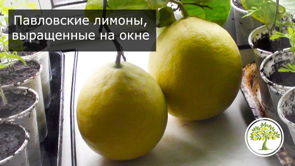Большие комнатные лимоны