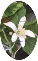 Ароматное цветение Павловского лимона