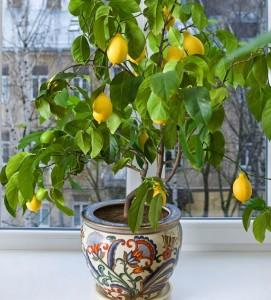 Pavlovo lemon tree