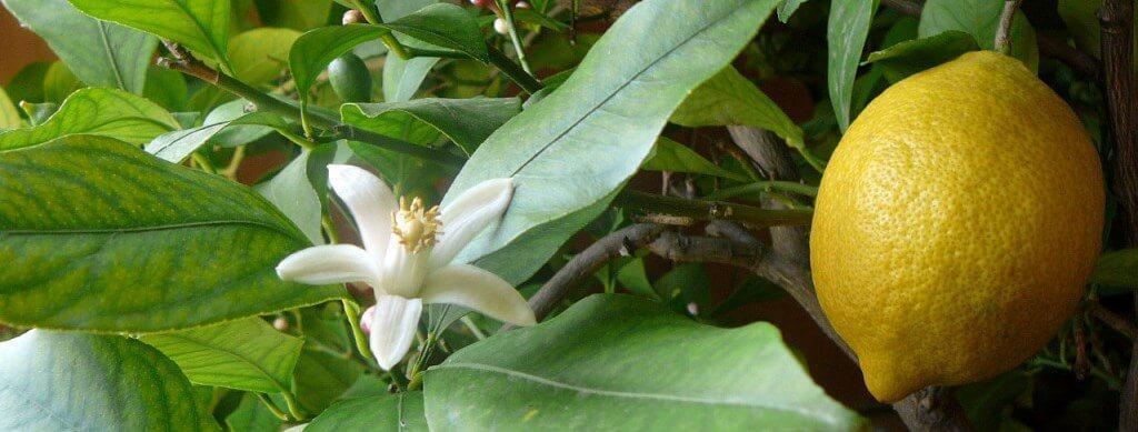 Фото Павловского лимона цветение и плод