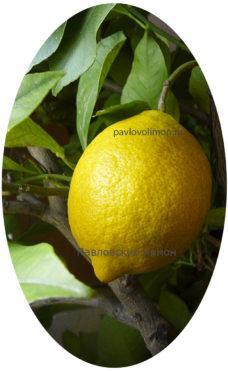 Павловский лимон с плодом на ветке