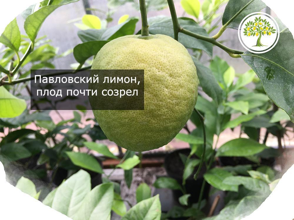 Павловский лимон плод