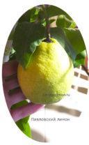 Плод Павловского лимона фото