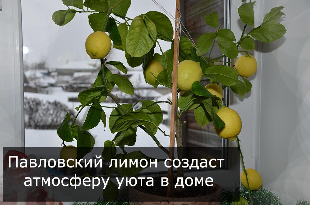 Павловский лимон создает атмосферу в комнате