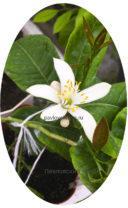 Цветение павловского лимона