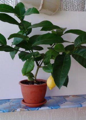 Павловский лимон с плодом