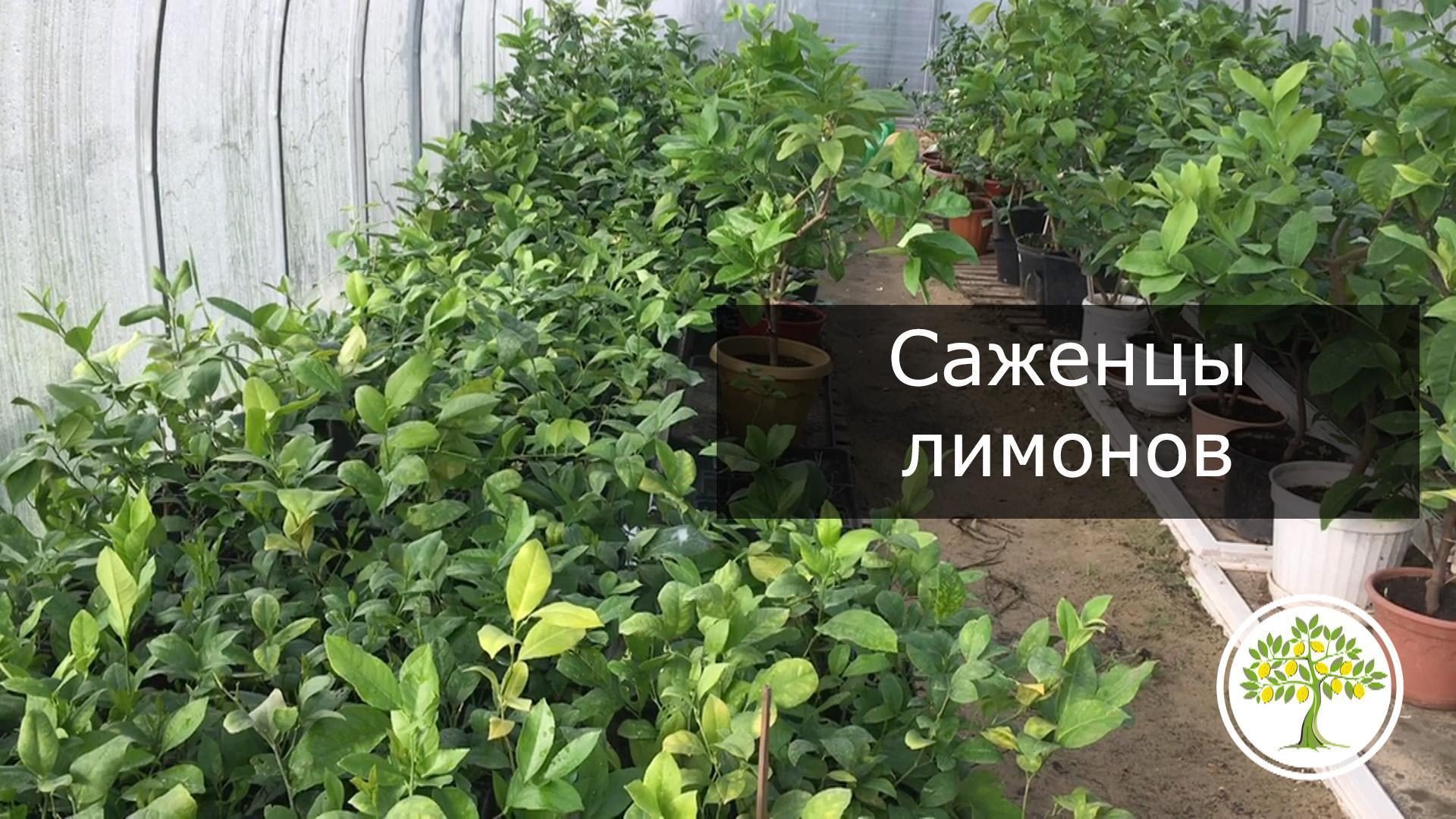 Павловский лимон саженцы питомник