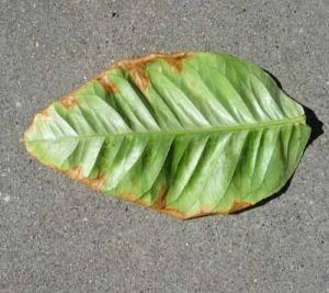 Фото листа лимона при нехватке калия