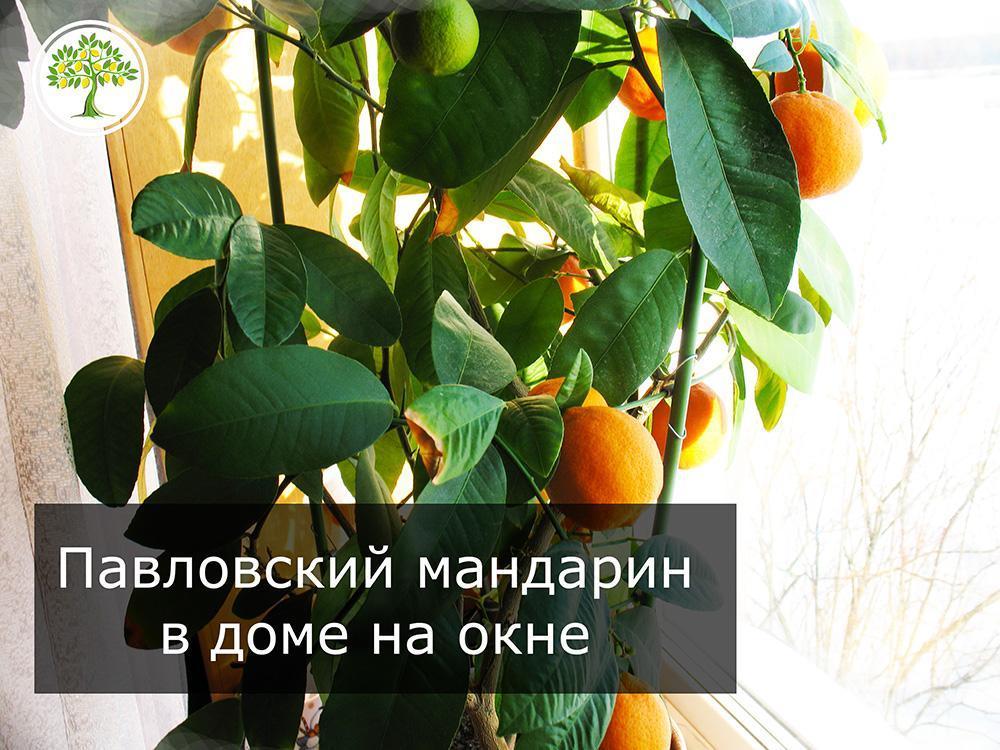 Павловский мандарин в плодах на окне