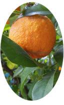 Плоды павловского мандарина фотография