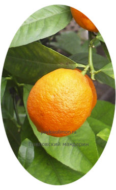 Плод Павловского мандарина