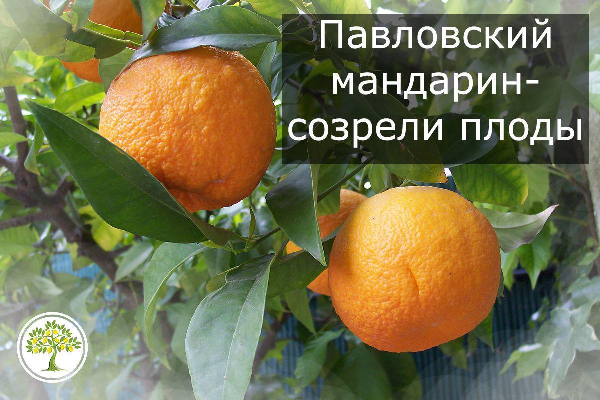 Плоды павловского мандарина померанца на фото