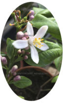 Павловский мандарин цветет фото