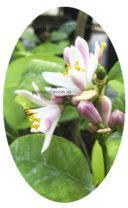 Цветение мандарина павловского померанца