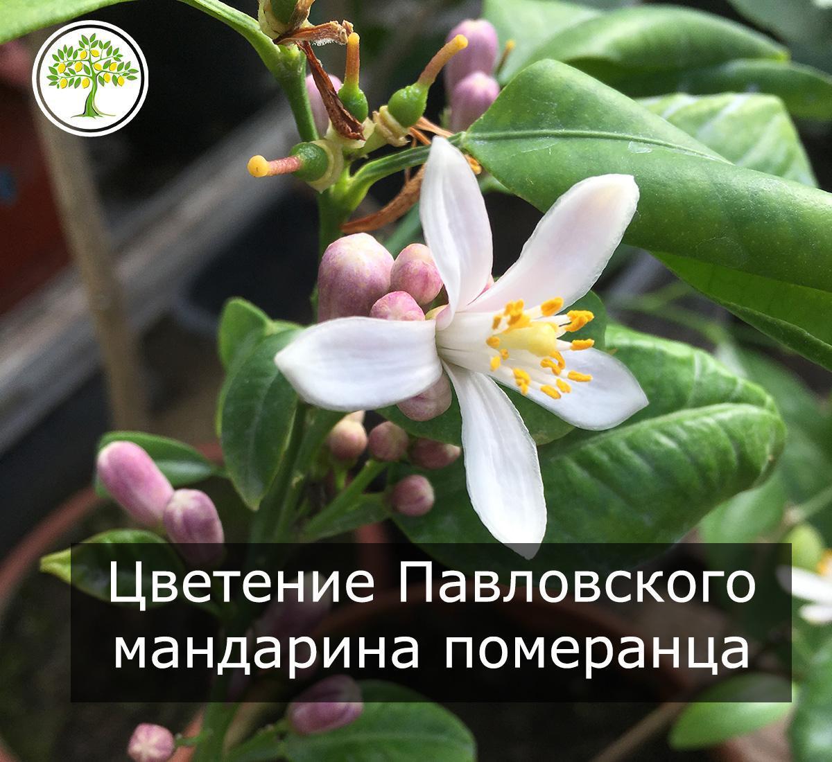 Павловский цветущий комнатный мандарин