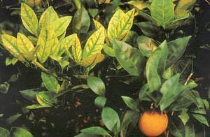 Фото мандаринового дерева при нехватке цинка
