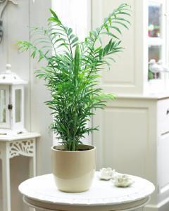 Хамедорея домашнее растение