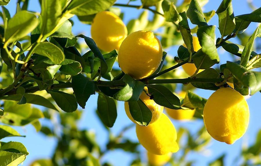 Дерево лимона на солнце