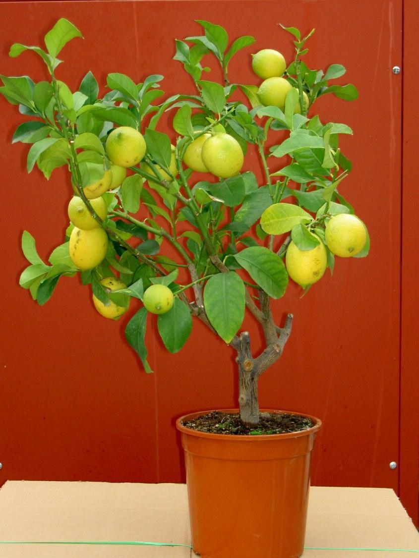 Схема подкормки лимона