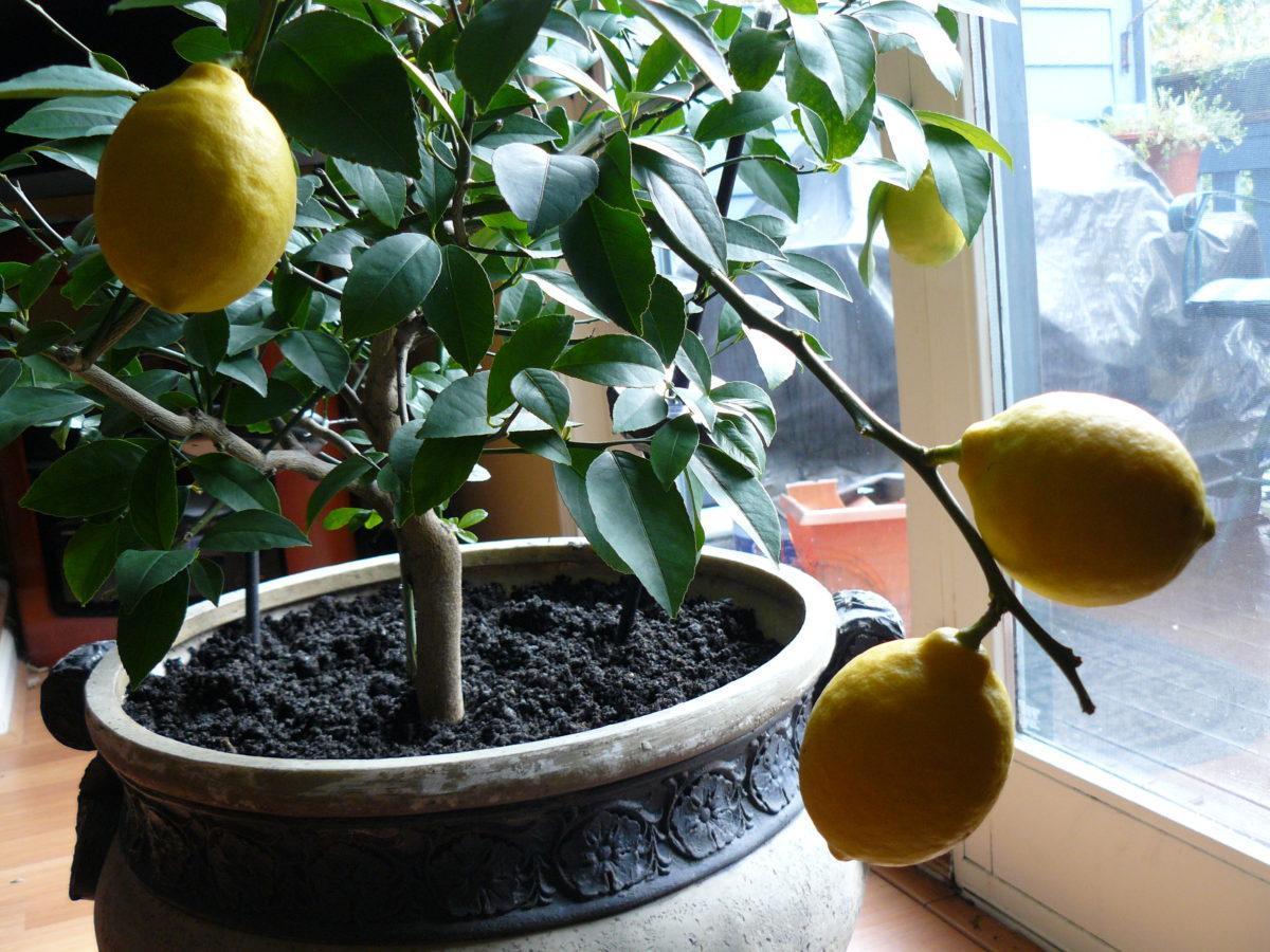 Лимонное дерево не только украсит дом, но и наполнит воздух полезными эфирными маслами