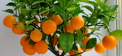 Павловский мандарин (Поменранец) фото