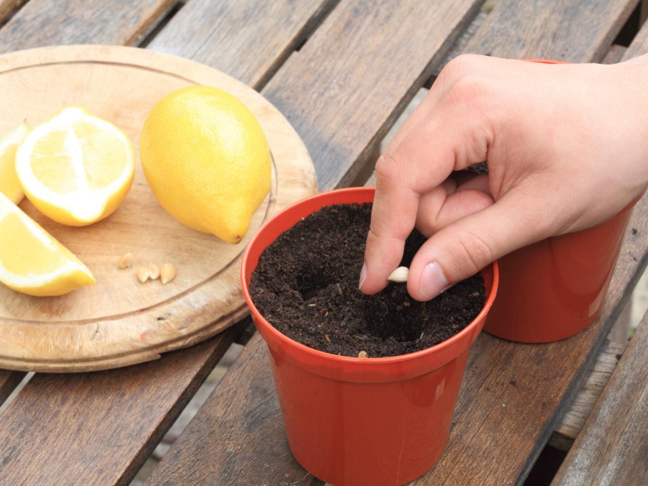 Косточка лимона в земле