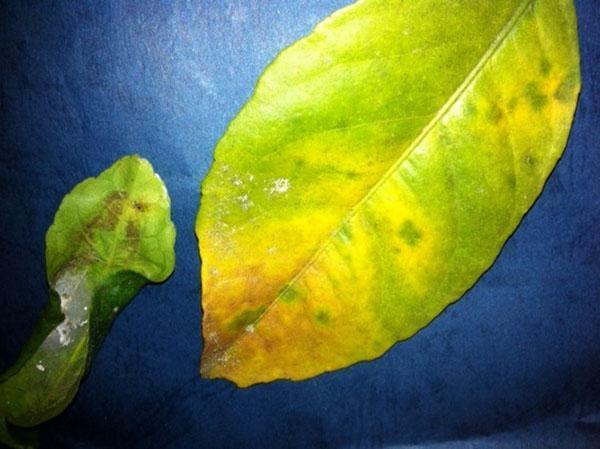 Фото листа лимона, пораженного щитовкой
