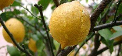 Вода для полива лимона