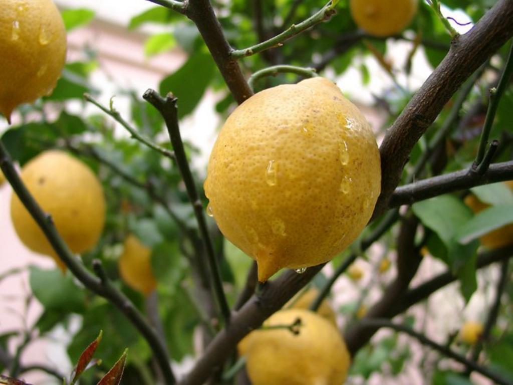 Полив лимона золой