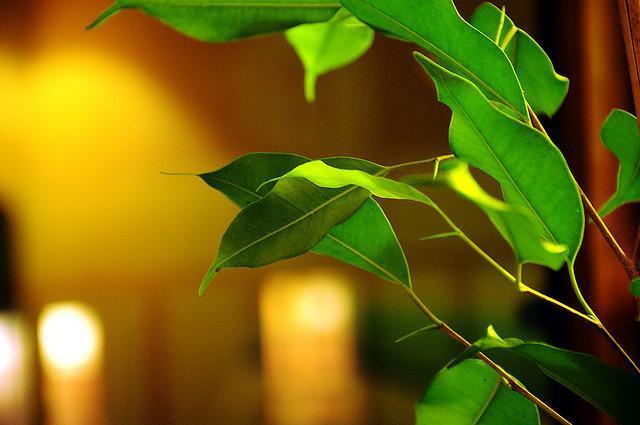Можно ли есть плоды лимонного дерева