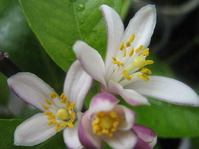 Мандарин цветет фото