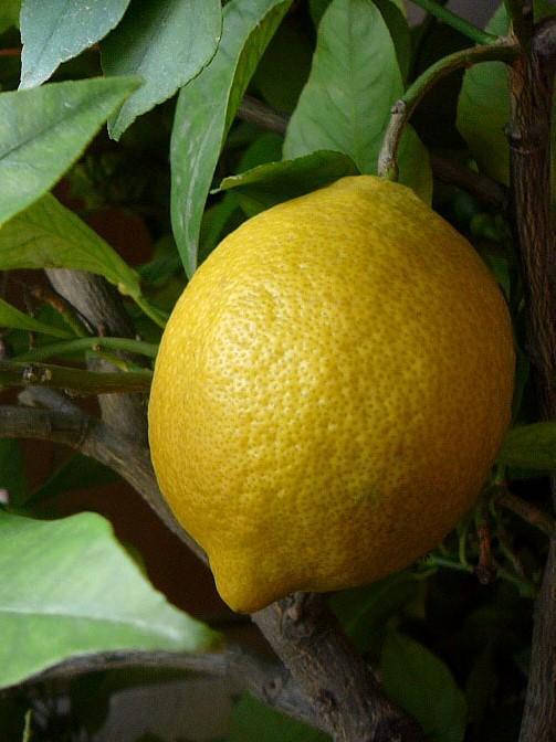Плодоносящий Павловский лимон