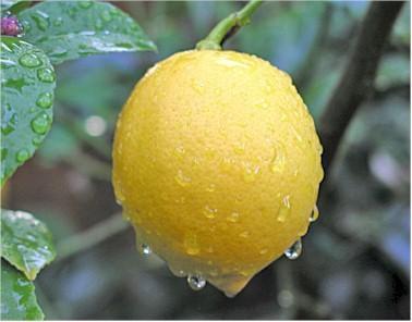 Плоды Павловского лимона
