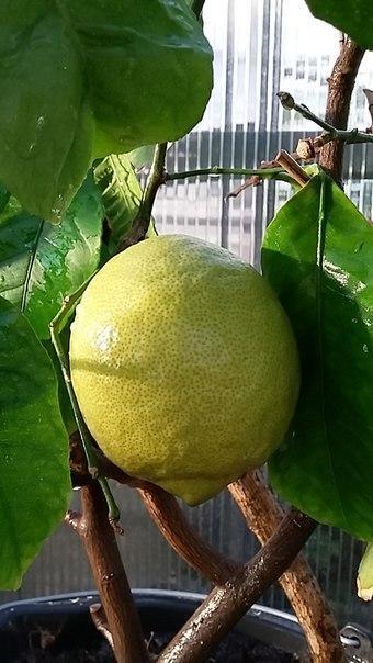 Круглый плод Павловского лимона